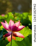 in the summer  white and pink... | Shutterstock . vector #1265182942