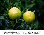 green orange tree. | Shutterstock . vector #1265354668