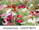 blossom cosmos flower bed in... | Shutterstock . vector #1265578075