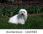 maltese sitting on grass with purple tulips in background - stock photo
