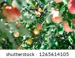 organic apples hanging from a... | Shutterstock . vector #1265614105