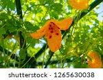 bitter melon  bitter gourd or... | Shutterstock . vector #1265630038