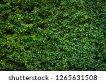 wild grape green wall | Shutterstock . vector #1265631508