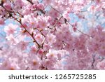 cherry blossom at osaka castle... | Shutterstock . vector #1265725285