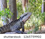 australian water dragon in the... | Shutterstock . vector #1265759902