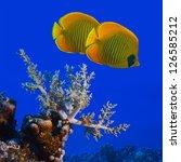 The Bluecheek Butterflyfish ...