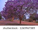 Jacaranda Trees On The Street...