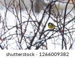 great tit  parus major wild...   Shutterstock . vector #1266009382