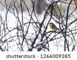 great tit  parus major wild...   Shutterstock . vector #1266009385