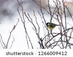great tit  parus major wild...   Shutterstock . vector #1266009412