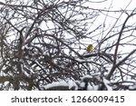 great tit  parus major wild...   Shutterstock . vector #1266009415