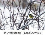 great tit  parus major wild...   Shutterstock . vector #1266009418