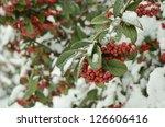 Snowy Rowan Branch With Berrie...