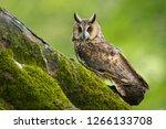 Long Eared Owl  Strix Otus ...
