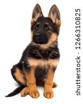 Stock photo a beautiful puppy is the german shepherd isolated on a white background fluffy dog close up of 1266310825