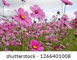 scenery of tsurumiryokuchi park.... | Shutterstock . vector #1266401008