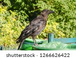 black crow standing on a bin in ... | Shutterstock . vector #1266626422