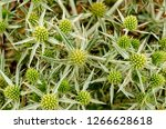 field eryngo or eryngium... | Shutterstock . vector #1266628618
