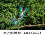 red parrots landing on branch ...   Shutterstock . vector #1266636175
