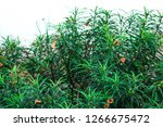 a green wild plant producing... | Shutterstock . vector #1266675472