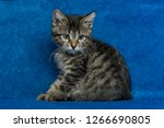 kitty sitting on sofa  little... | Shutterstock . vector #1266690805
