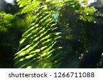 Common Sword Fern Leaves