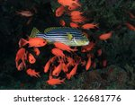 Oriental sweetlips and soldierfish - stock photo