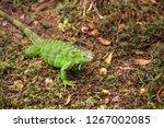 juvenile green iguana...   Shutterstock . vector #1267002085