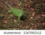 juvenile green iguana...   Shutterstock . vector #1267002112