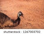emu dromaius novaehollandiae ...   Shutterstock . vector #1267003702