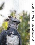 harpy eagle harpia harpyja...   Shutterstock . vector #1267011055