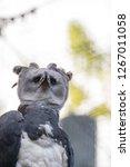 harpy eagle harpia harpyja...   Shutterstock . vector #1267011058