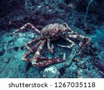 Japanese Giant Spider Crab ...