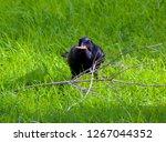 sleek shiny  australian black ...   Shutterstock . vector #1267044352