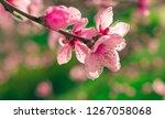 wild flowers sakura bush sunset ... | Shutterstock . vector #1267058068