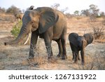 female african bush elephant... | Shutterstock . vector #1267131922