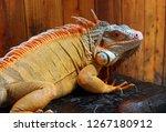 the iguana is a genus of... | Shutterstock . vector #1267180912