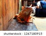 the iguana is a genus of... | Shutterstock . vector #1267180915