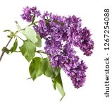 lilac flowers isolated on white ... | Shutterstock . vector #1267254088