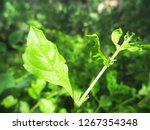 leaves   foliage and green... | Shutterstock . vector #1267354348