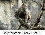 formosan macaque is scratching | Shutterstock . vector #1267372888