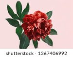 bright red peony on pink...   Shutterstock . vector #1267406992