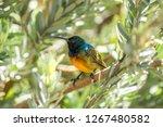 An Orange Breasted Sunbird...
