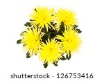 Yellow autumn chrysanthemum flowers isolated on white background - stock photo