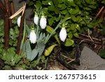 galanthus flower nature | Shutterstock . vector #1267573615