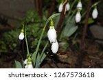galanthus flower nature | Shutterstock . vector #1267573618