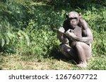 ape in the jungle | Shutterstock . vector #1267607722