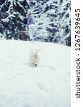 woman walking her white terrier ...   Shutterstock . vector #1267639645