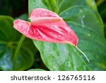 Anthurium Flamingo Flowers Pin...