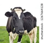 cow portrait in a pasture. cow... | Shutterstock . vector #1267664128